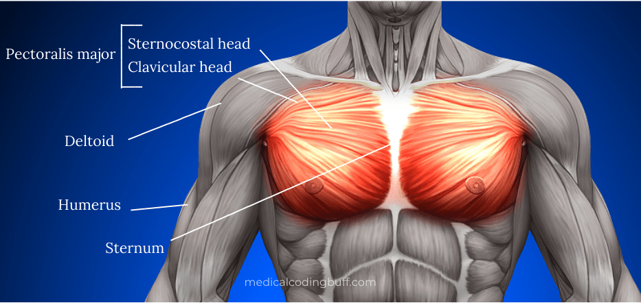 coding for pectoralis major muscle tears in ICD-10 and diagram showing anatomy